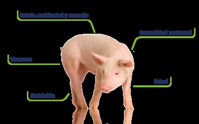 Sistema inmune del cerdo: aporte desde AMBiotec