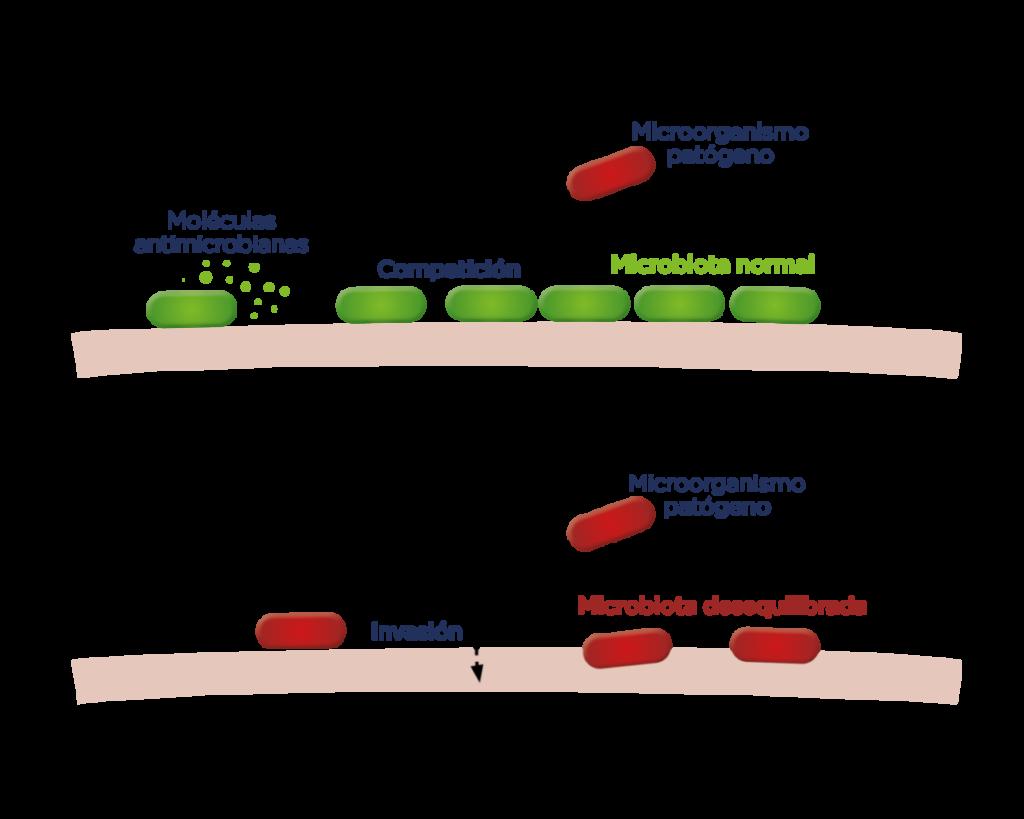 microbiota normal y microbiota desequilibrada