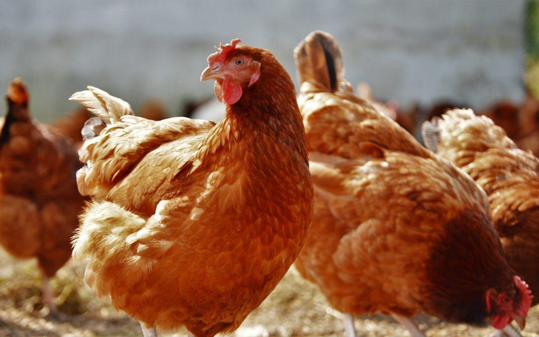 Beneficios de COCCI CERO en gallinas ponedoras