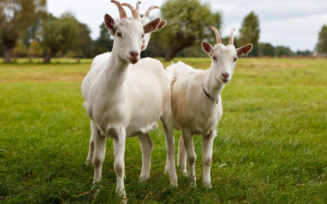 Enfermedades comunes en cabras adultas: CETOSIS